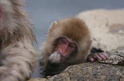 Snow Monkey  250x164
